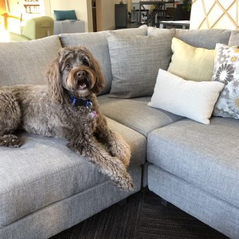 Piper, newest addition to the OstermanCron office furniture showroom